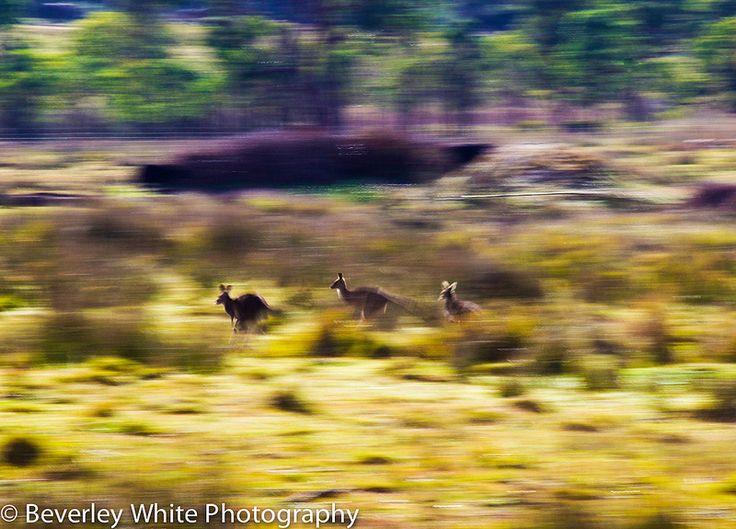 Kangaroos in action