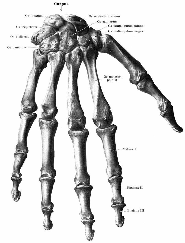 Skeleton Hands Anatomy - anatomy. skeleton hands by FragileKsu on ...