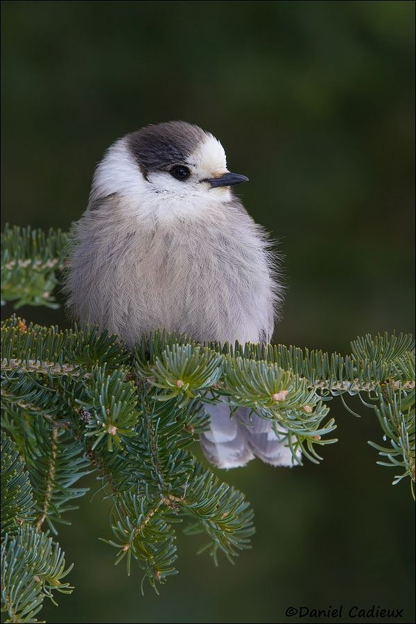 Gray Jay resting in a Spruce tree in Algonquin Park, Ontario, Canada.