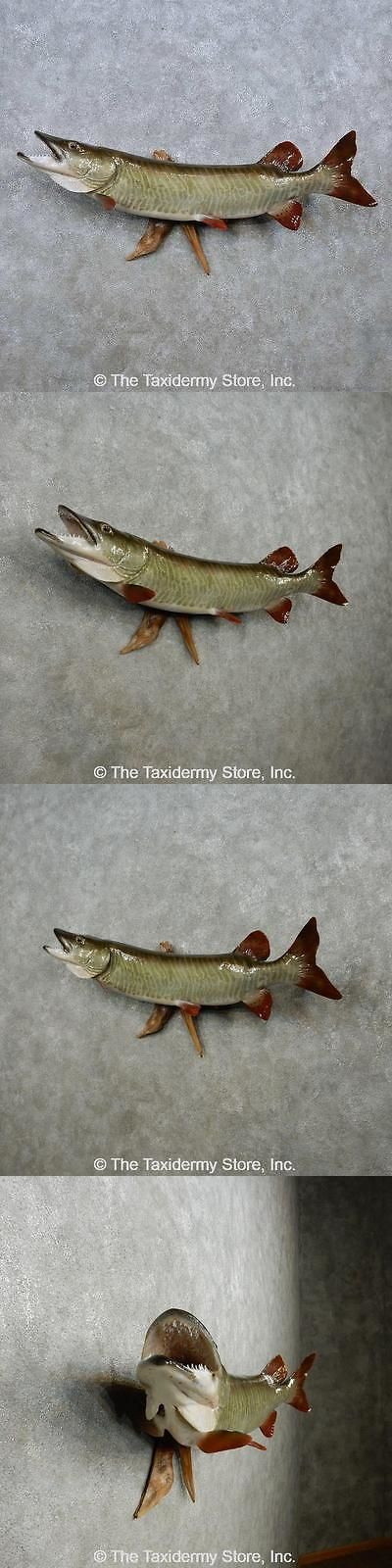 Fish 71127: #14465 P+ | 46 Muskie Reproduction Taxidermy Fish Mount For Sale BUY IT NOW ONLY: $1050.0