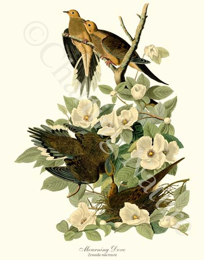 'Mourning Dove'  giclee print by James Audubon via Charting Nature. , #birdprint #birdart #audubon
