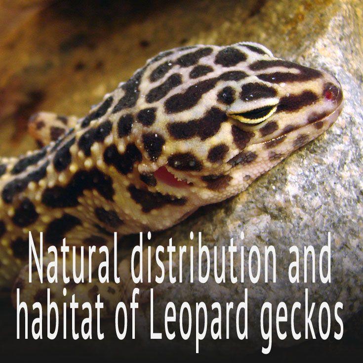 Natural distribution and habitat of Leopard geckos