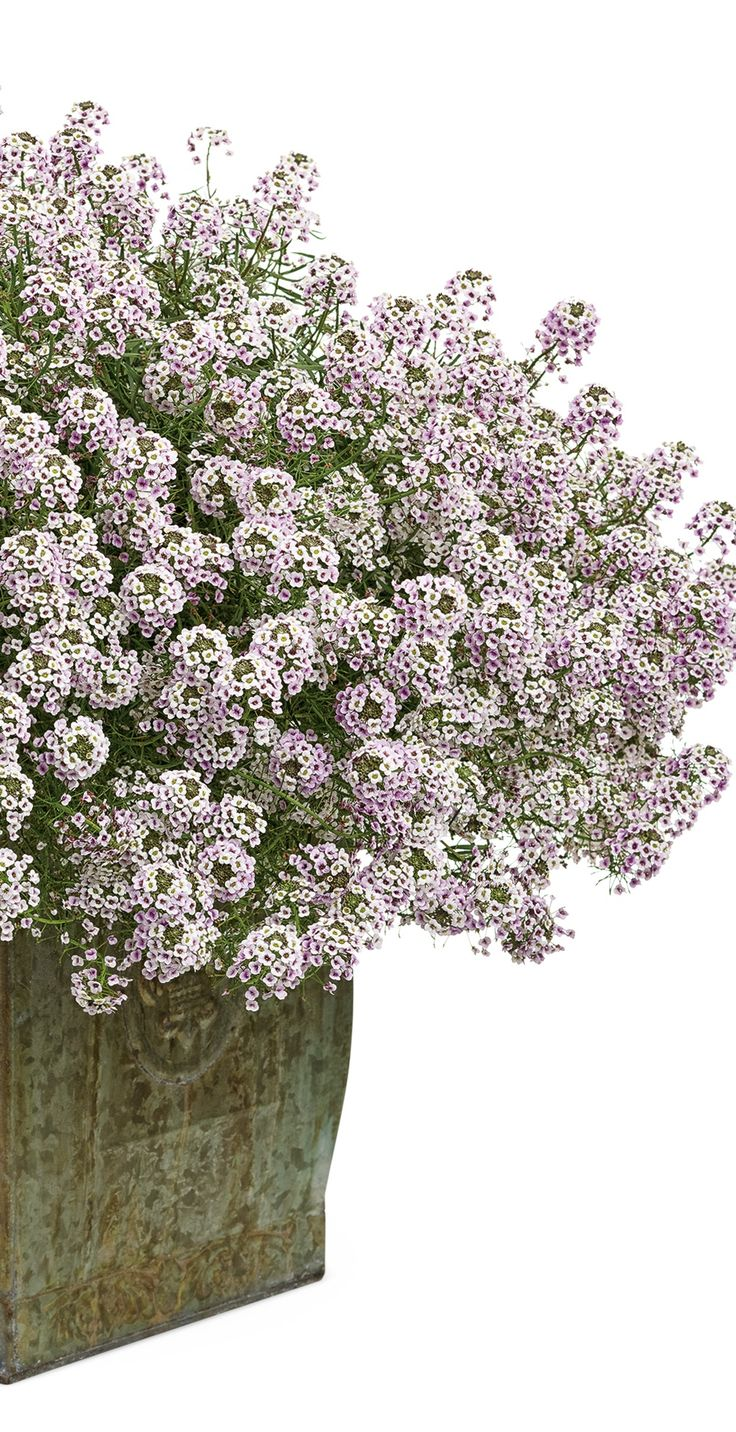 Plants for spring and summer - Blushing Princess Lobularia Has A Faint Tinge Of Purple Which Deepens As The Cooler Nights Set