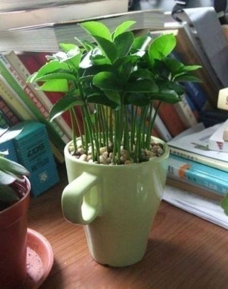 ПОЛЕЗНЫЕ СОВЕТЫ   И  НЕ ТОЛЬКО...: Как вырастить лимонное дерево в чашке