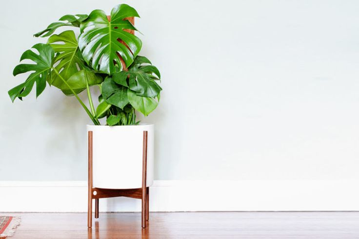 The Monstera Deliciosa - Free plant delivery in the San Francisco and Los Angeles areas