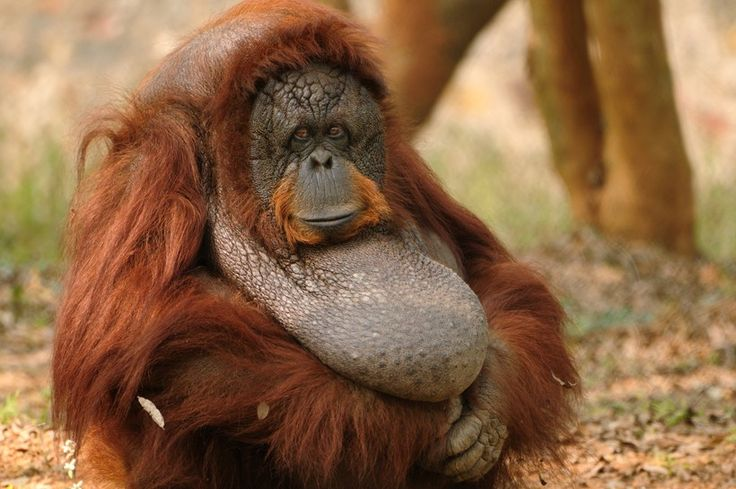 Fondly known as the Red Apes, Sumatran orangutans are the long, red-orange haired primates of Asia.