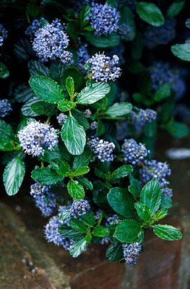 RHS Plant Selector Ceanothus thyrsiflorus var. repens AGM / RHS Gardening #gardenshrubsborder