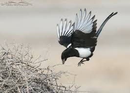 Image result for magpies nest