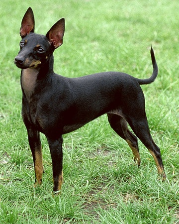 Manchester Terrier - like my Abby!