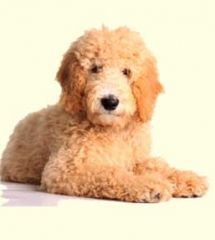 Goldendoodle Puppies For Sale In DE MD NY NJ Philly DC and Baltimore - Greenfield Puppies