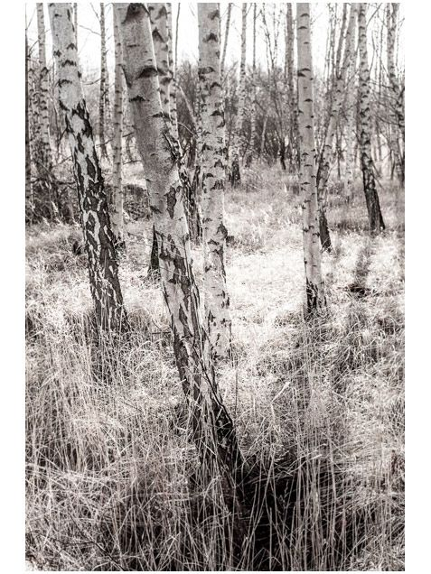 Foto Factory birch forest Poster a3 & (50x70cm) now available at www.paperempire.com.au