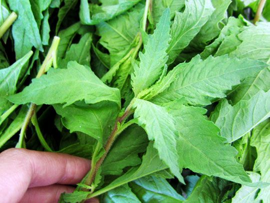 "Native to Mexico and Central America, epazote is perhaps best known for its carminative properties. Cooked with a pot of beans, this herb can lessen the ""negative effects"" and adds a distinctive savory, earthy flavor. Epazote is also used in Mexican cooking to flavor moles, soups, and other dishes."
