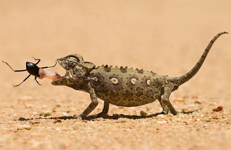 Chameleon eats his lunch