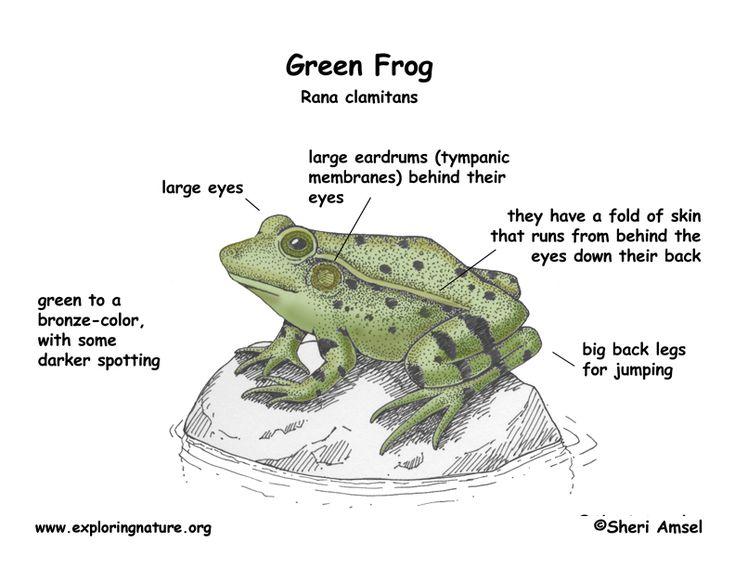 Keira Knightley Green Frog Frog Glass Frog