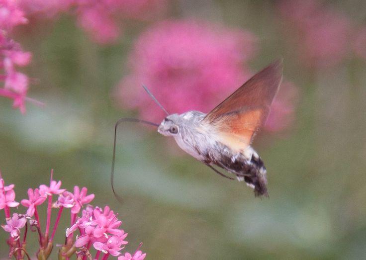 een onbekend insect op onze valeriaan