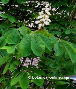 flor castaño de indias
