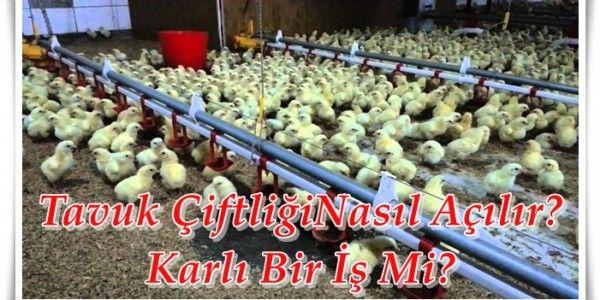 Tavuk Çiftliği Açmak İçin Ne Gerekli?