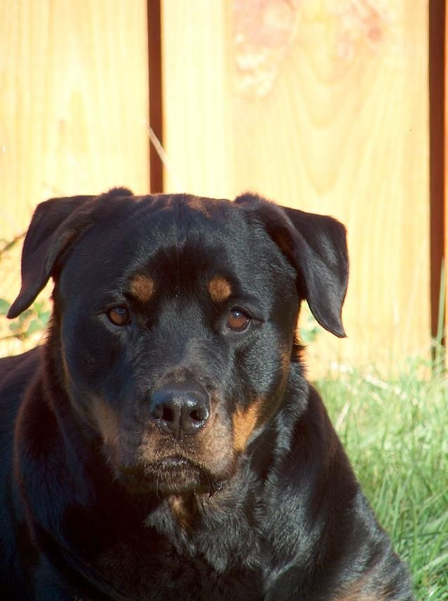 colorful pictures of rotties   Rottweiler Dog Photos: Best Site for Puppies Pictures. Rottie Lovers ...