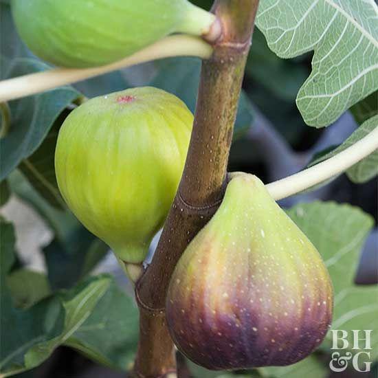 Fig Fruit Garden Growing Raspberries Edible Garden