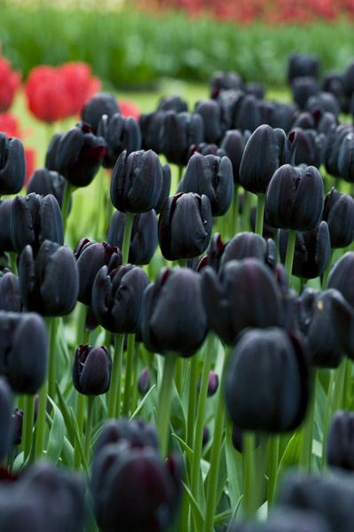 Tulipa 'Cafe Noir' - Brooding near-black flowers top the stout stems of this single late tulip. Excellent in late spring and early summer bedding schemes, its rich chocolate-red colouring looks great as a contrast to creamy whites and yellows, or toned with soft pinks.