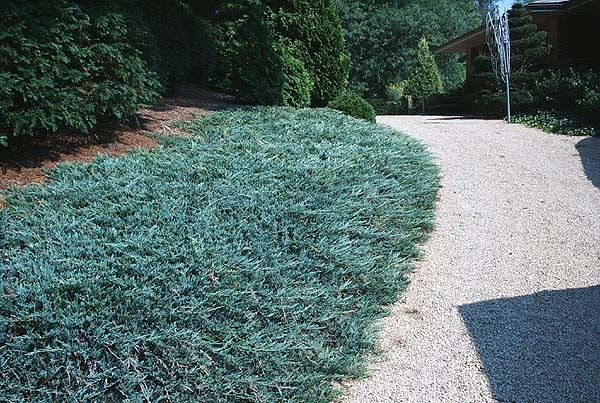 17 Best Images About Ground Cover Plants On Pinterest