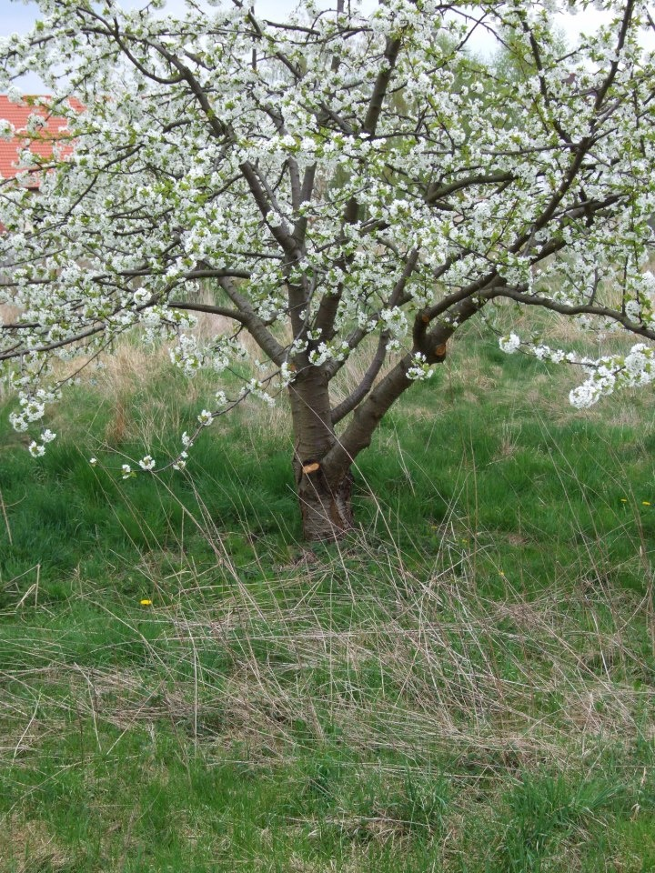 """Jak odpowiednio pielęgnować (m.in. formować koronę czy nawozić) młode drzewka w sadzie? Dowiecie się tego z magazynu praktycznego lutowego numeru """"Mojego Pięknego Ogrodu"""". Młode drzewa od momentu posadzenia do wejścia w okres pełni owocowania wymagają szczególnej opieki! Jeśli im ją zapewnimy, odwdzięczą się nam obfitymi zbiorami:)"""