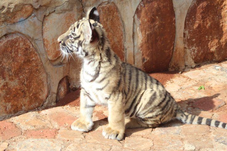 tiger unge fra PR.