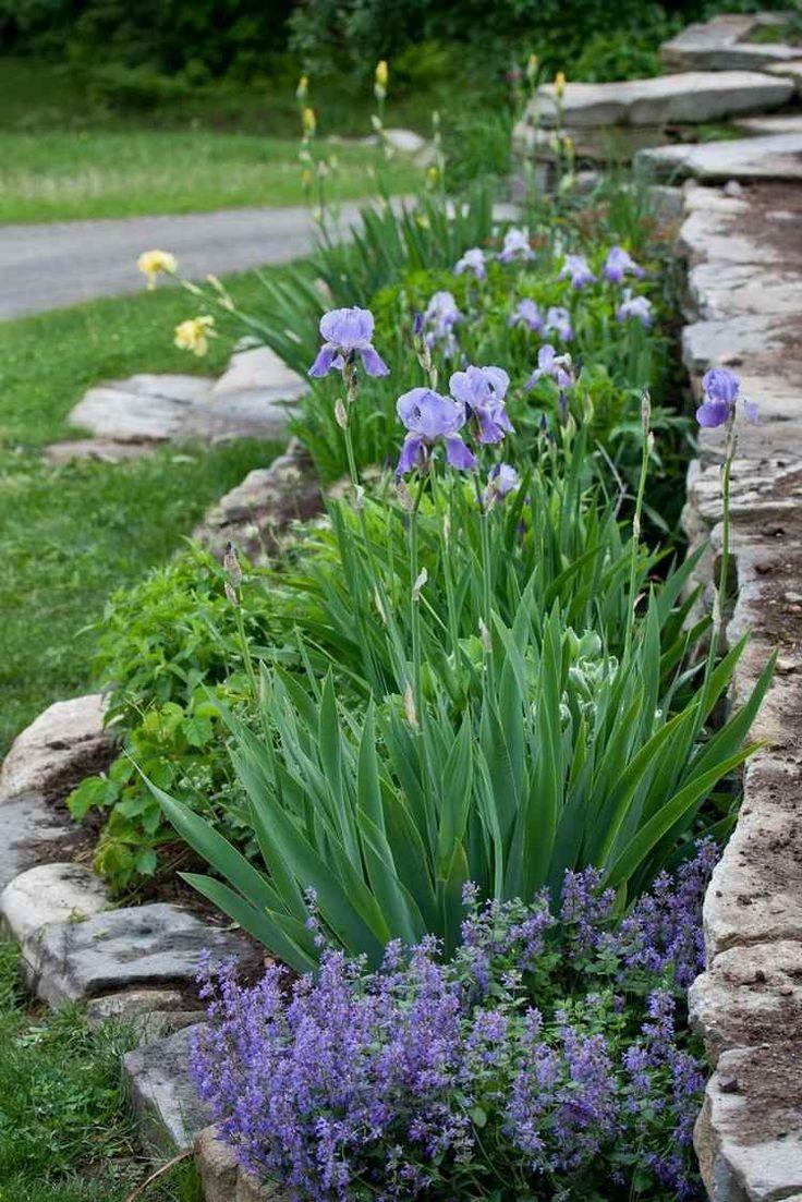 aménagement petit jardin, iris, saponaire faux-basilic