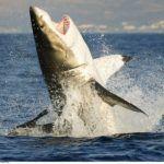 Afrique du Sud : des drones pour prévenir les attaques de requins
