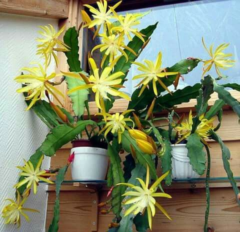 Easter cactus orchid cactus catus succulents orchids beautiful flowers paper roll art plants for the home