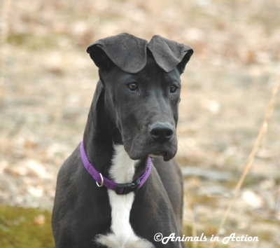 Pin by Rhonda Hill on i love great danes | Pinterest
