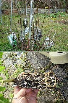 один из старых способов размножения деревьев и кустарников
