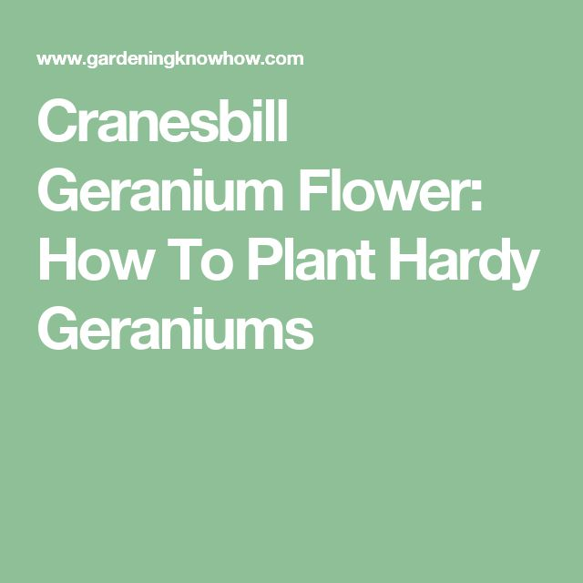 1000 ideas about geraniums on pinterest red geraniums geranium care and red flowers - How to care for ivy geranium ...
