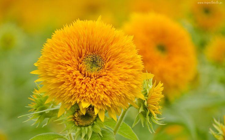 Żółte, Kwiaty