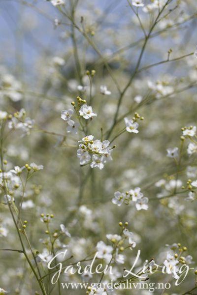 Buskstrandkål kommer fra Kaukasus og er en av de mest staselige plantene i hagen. Planten danner rosetter med stor mørk grønne blader. Utpå sommeren skyter den opp store blomsterstilker med skyer av hvite blomster.