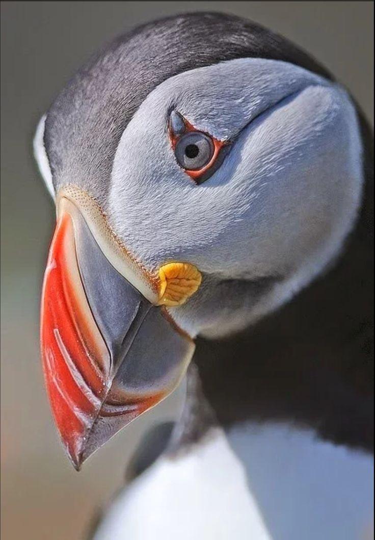Nice looking bird - Atlantic Pufin