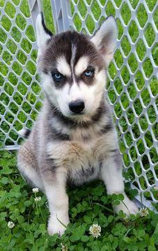 Siberian Husky puppy for sale in LICKING, MO. ADN-32542 on PuppyFinder.com Gender: Male. Age: 7 Weeks Old