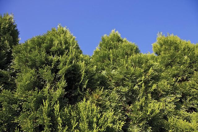 'Emerald Green' arborvitae trees are evergreens used as privacy screens or in other border plantings.
