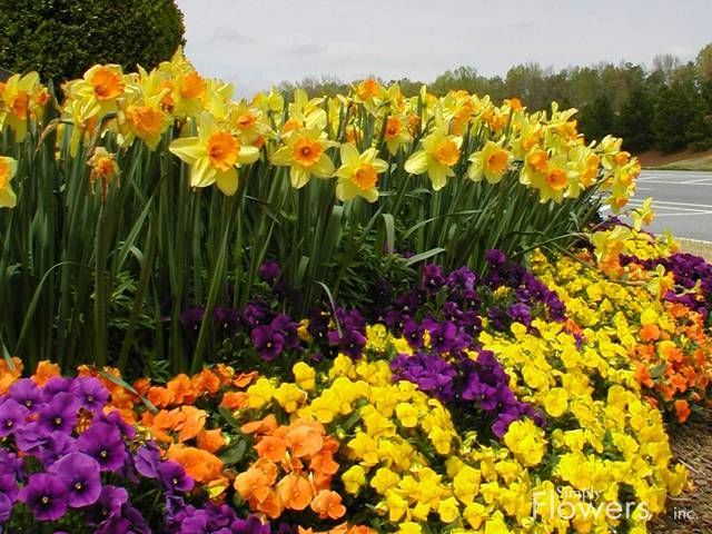 Fall Flower Garden Ideas Part - 26: Simply Flowers, Inc. - Fall/Winter - Portfolio Featuring Daffodils And  Pansies