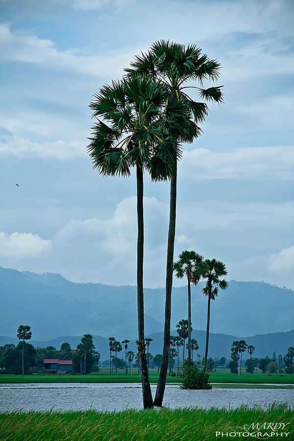The Cambodia Palm Tree! by Mardy Suong