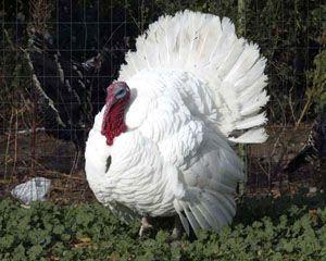 White Holland turkey