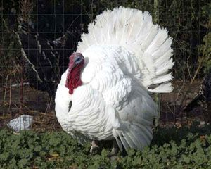 White Holland turkey