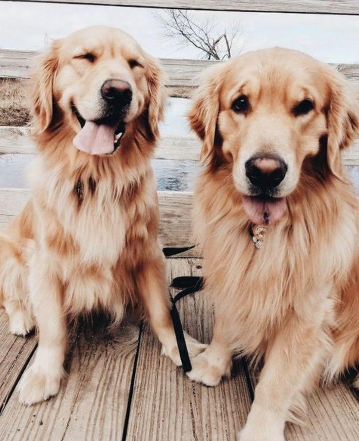 Golden Retriever Susse Hunde Beste Hunderassen Fur Familien Susse Welpen G Dogs Beste Dogs Familien Fur Golde Hunderassen Welpenzucht Welpen