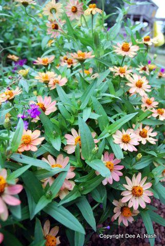 Easy grow flowers for Oklahoma yards