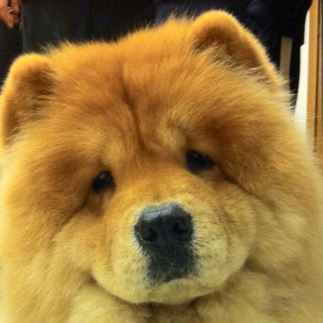China, our chowchow