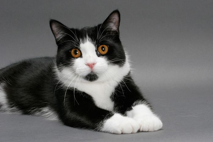 Manx Cat and Kittens | History of This Charming Breed ...  |Manx Cat History