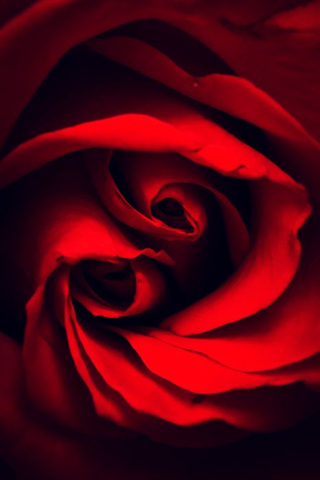 rose, red macro, abstract