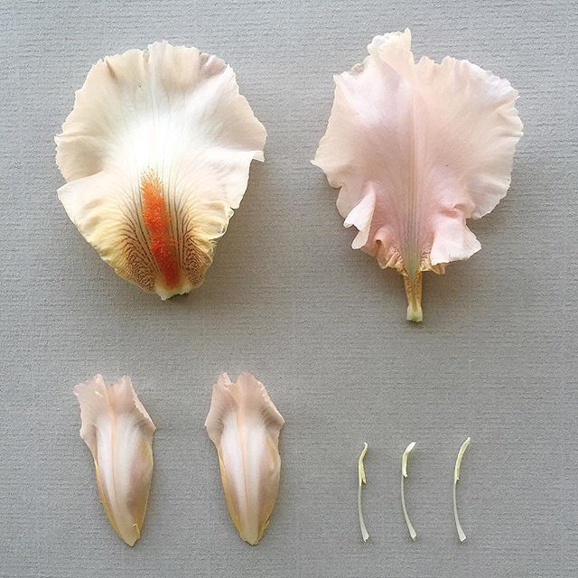 I R I S . germanica (var. unidentified) deconstructed, collected at Bushman Rock, Zimbabwe  <a href='/tag/irisgermanica' target='_blank'><a href='/tag/iris' target='_blank'>#iris</a>germanica</a>  <a href='/tag/beardediris' target='_blank'>#beardediris</a>  <a href='/tag/iris' target='_blank'>#iris</a> <a href='/tag/scent' target='_blank'>#scent</a> <a href='/tag/perfume' target='_blank'>#perfume</a> <a href='/tag/botanicaldeconstruction' target='_blank'>#botanicaldeconstruction</a> <a…