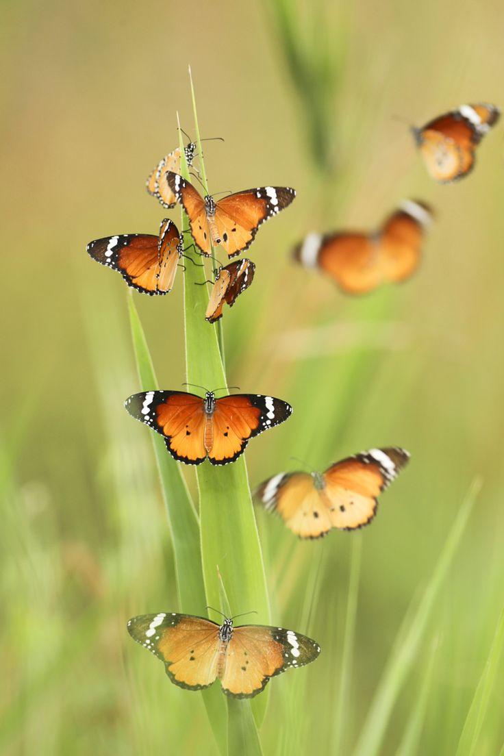 Flock Of Plain Tiger Butterflies Danaus Chrysippus By
