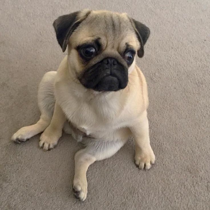 How to sit like a human Tag a friend who may like this  Thanks @theadventuresoffrog for sending us the picture! Follow us now! http://ift.tt/2bqmvIu #pug #pugsloveronly #pugs